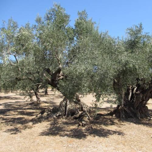 Starter Olive Oil & Vinegar Set   FIVE
